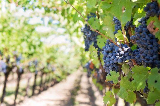 Šta znači sanjati grožđe?